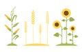 Wheat field. Sunflower icon cartoon. Royalty Free Stock Photo