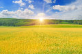 Wheat field and sunrise in the blue sky Royalty Free Stock Photo