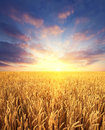 Wheat field and sunrise sky as background Royalty Free Stock Photo