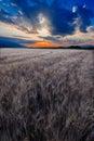 Wheat field on sunset Royalty Free Stock Photo
