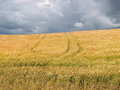 Wheat field before a thunder-storm Royalty Free Stock Photo
