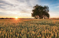 Wheat field with tree at sunset