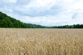 Wheat field with Treed Mountains and a Dramatic Sky. Royalty Free Stock Photo