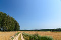Wheat field with trees in background and road Royalty Free Stock Photo