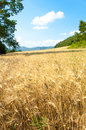 Wheat field with trees and mountains Royalty Free Stock Photo