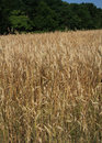 Wheat field with trees vertical Royalty Free Stock Photo