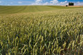 Wheat field under blue sky Stock Photo