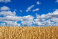 Wheat field under blue sky with clouds close up of golden Stock Image