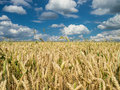 Wheat field under a partly cloudy sky in the summer Royalty Free Stock Images