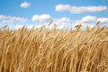 Wheat field under the white clouds on blue sky close up Royalty Free Stock Photography