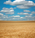 Wheat field under the white clouds on blue sky nature background Stock Images