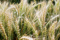 Wheat field unripe classes at closeup Stock Image