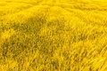 Wheat field a vibrant yellow in the hot summer Stock Image
