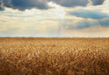 Wheat field. Yellow grain ready for harvest Royalty Free Stock Photo