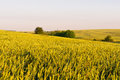 WHEAT FIELDS Royalty Free Stock Photo