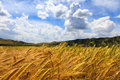 Wheat fields with blue sky Royalty Free Stock Photo