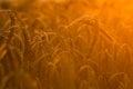 Wheat fields Royalty Free Stock Photo