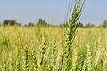 Wheat fields in gujrat india Royalty Free Stock Photo