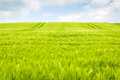 Wheat fields landscape Royalty Free Stock Photo