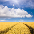 Wheat fields towards the clouds at sunny day Royalty Free Stock Photo
