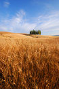 Wheat fields in Tuscany Royalty Free Stock Photo