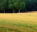 Wheat fields and woods Stock Images