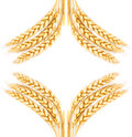 Wheat frame of the spikelets of isolated on a white background Royalty Free Stock Photos