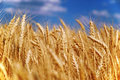 Wheat grain field Stock Photo
