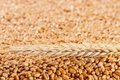Wheat grains close up background with ears nature background Stock Photo