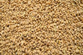Wheat grains Royalty Free Stock Photo