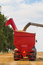 Wheat grains filling tractor's trailer Royalty Free Stock Photo