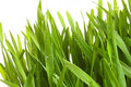 Wheat-grass against a white Stock Photography