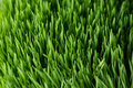Wheat grass closeup organic Royalty Free Stock Photography