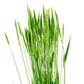 Wheat grass - Elytrígia. Stock Photo