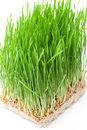Wheat grass isolated on white Stock Images