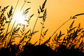 Wheat Grass Silhouette at Sunset Royalty Free Stock Photo
