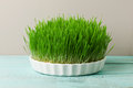 Wheat grass urban cultivation and gardening on wooden kitchen table for juicing healthy life how to grow the best Stock Images