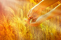 Wheat in hands of woman the sun s rays illuminate the field grain and valuable Royalty Free Stock Photography