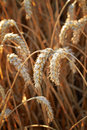 Wheat and harvest background Royalty Free Stock Images