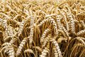 Wheat harvest. Fields of ripe wheat. Agrarian industry Royalty Free Stock Photo