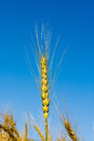 Wheat head of natural weath against blue sky Royalty Free Stock Photos