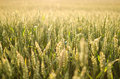 Wheat illuminated by sun picture of field with blurred background and foreground in sunset light Royalty Free Stock Photos