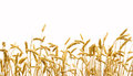 Wheat isolated on a white background Stock Photos