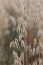 Wheat makro image golden ears of oat close up of corn Stock Photography
