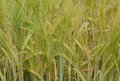 Wheat of a new crop growing greenish yellow shades Stock Photography