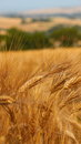 Wheat nice image of on vivid color in one italian village close to sea Stock Photo