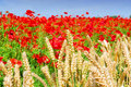 Wheat and poppies Royalty Free Stock Photo