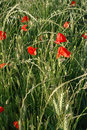 Wheat and Poppies Stock Photo