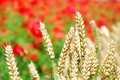 Wheat and poppies shallow dof Royalty Free Stock Photo
