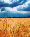 Wheat ready for harvest growing in a farm field Royalty Free Stock Photo